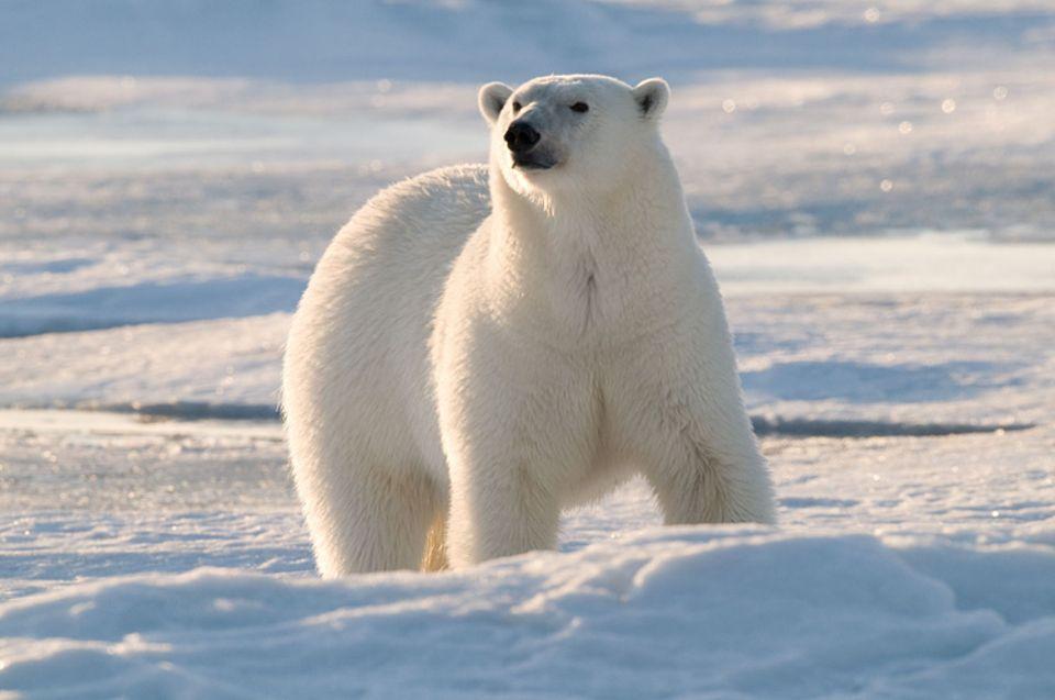 Eisbären: Eisbären können eine Geschwindigkeit von bis zu 40 Stundenkilometern erreichen