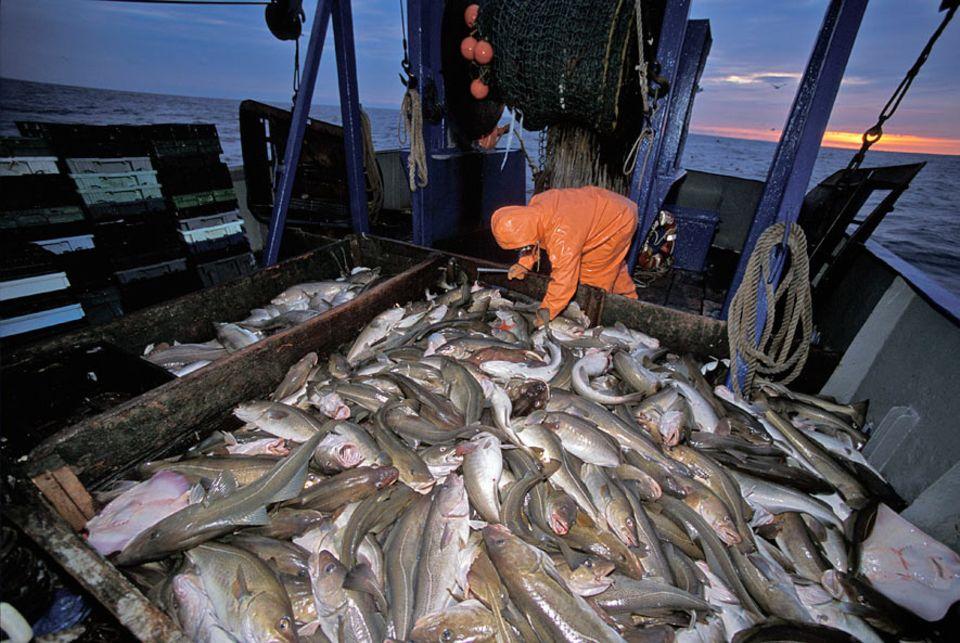 EU-Fischerei: Fetter Fang? Die europäischen Fischbestände sind fast zur Hälfte überfischt. Arten wie der Kabeljau, der hier an Bord kommt, sind stellenweise stark zurückgegangen, etwa in der Nordsee