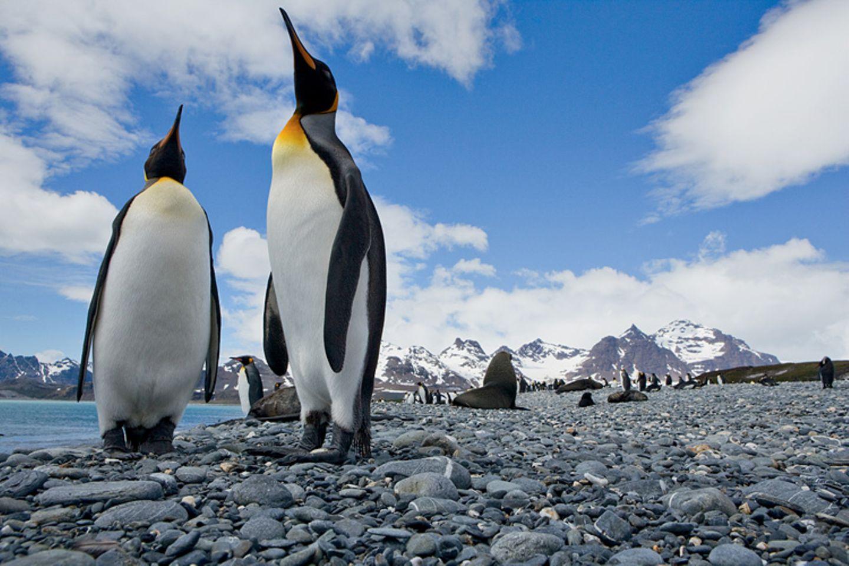 Tiere: Königspinguine (im Bild) sind nach den Kaiserpinguinen die zweitgrößte Pinguinart. Trotzdem schaffen sie nicht mal die Ein-Meter-Marke: Sie erreichen eine Körpergröße von etwa 80 bis 90 Zentimeter