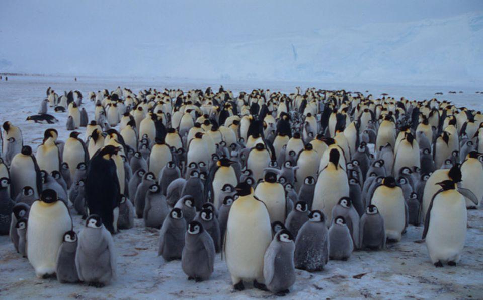 Tiere: Kuscheln gegen die Kälte: Diese Gruppe von ausgewachsenen Kaiserpinguinen mit ihren graugefiederten Jungen hält fest zusammen