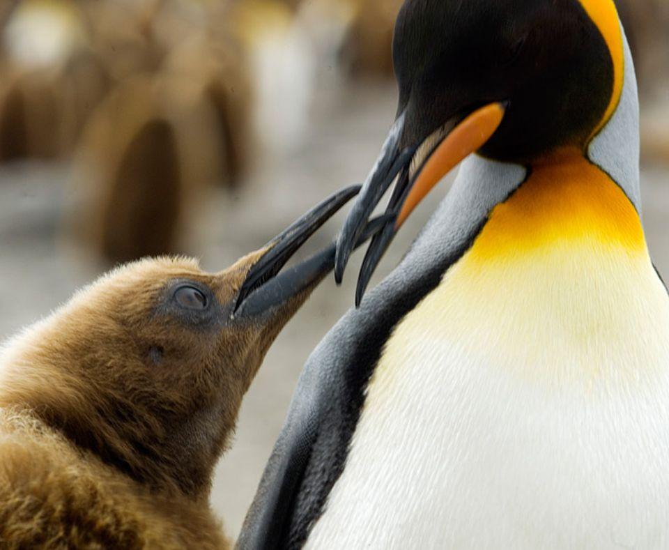Tiere: Was gibt's denn da zu schnabeln? Der Königspinguin und ein Junges tauschen sich aus