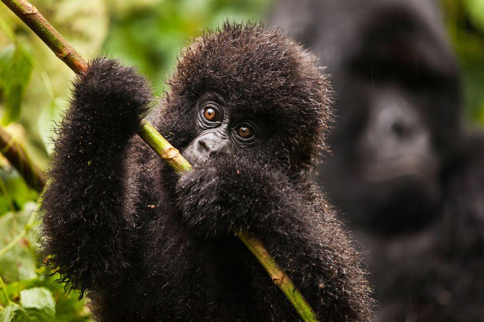 Im Sommer 2007 wurden sieben Mitglieder der Familie dieses Berggorillababys aus Virunga erschossen