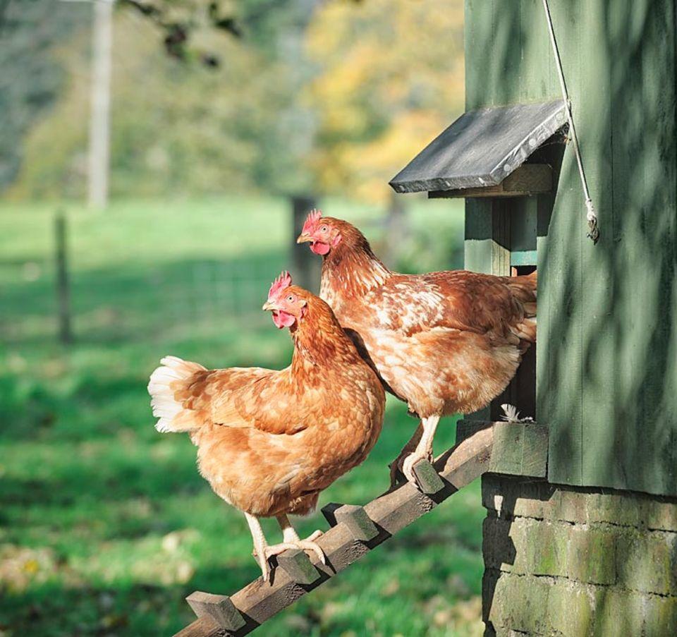 Redewendung: Wenn sogar die Hühner über etwas lachen, muss es wirklich sehr lächerlich sein