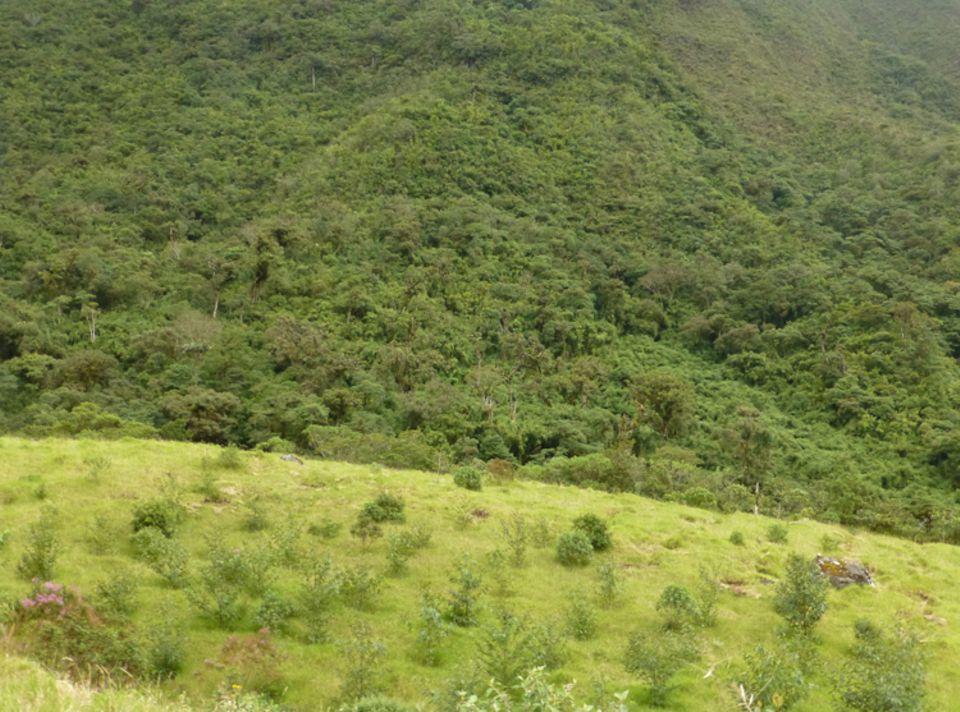 Auf der wiederaufgeforsteten ehemaligen Viehweide am Rand des Gemeindewalds von Irubí zeigen sich im Juni 2015 die Kronen schnell wachsender Arten