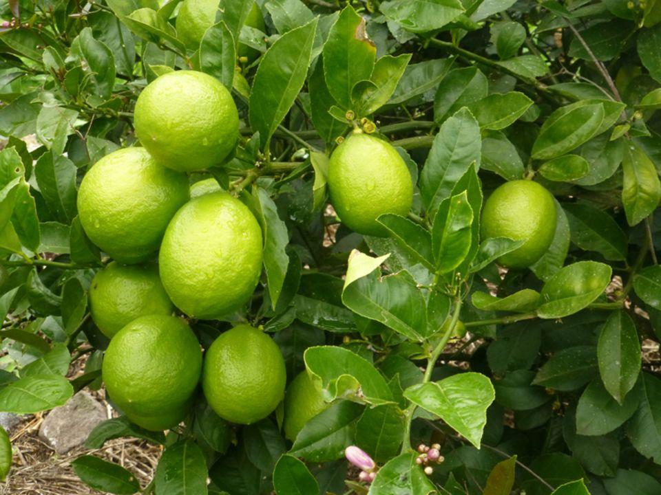 Früchte des Projekts 1: Einige der durch das Projekt gepflanzten Zitronenbäume hingen bereits im Juni 2015 voll mit Früchten