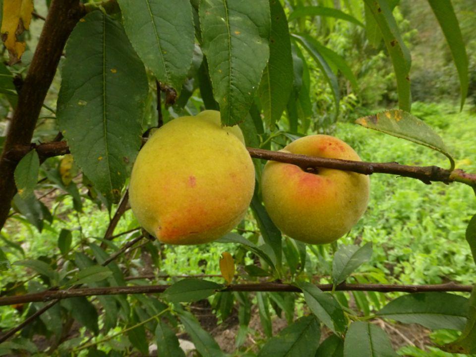 Früchte des Projekts 2: Prächtige Aprikosen beweisen, dass die Bäume sehr wohl auf über 2000 Meter ü.d.M. gedeihen