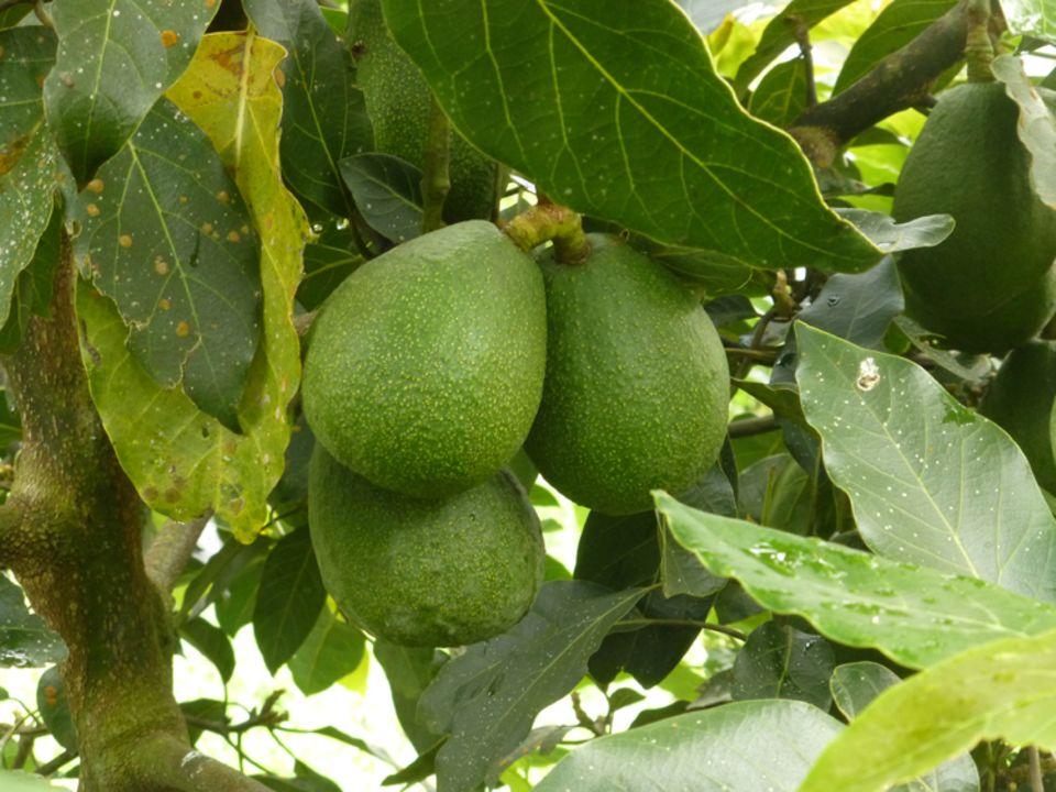 Früchte des Projekts 3: Schon in wenigen Jahren kann die Projektgruppe mit dem Verkauf von Avocados ein Einkommen erwirtschaften