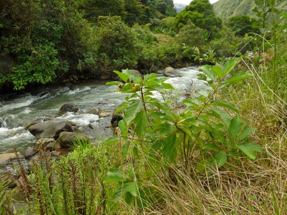 Die nachgepflanzten Bäume am Rio Irubí entwickeln sich gut