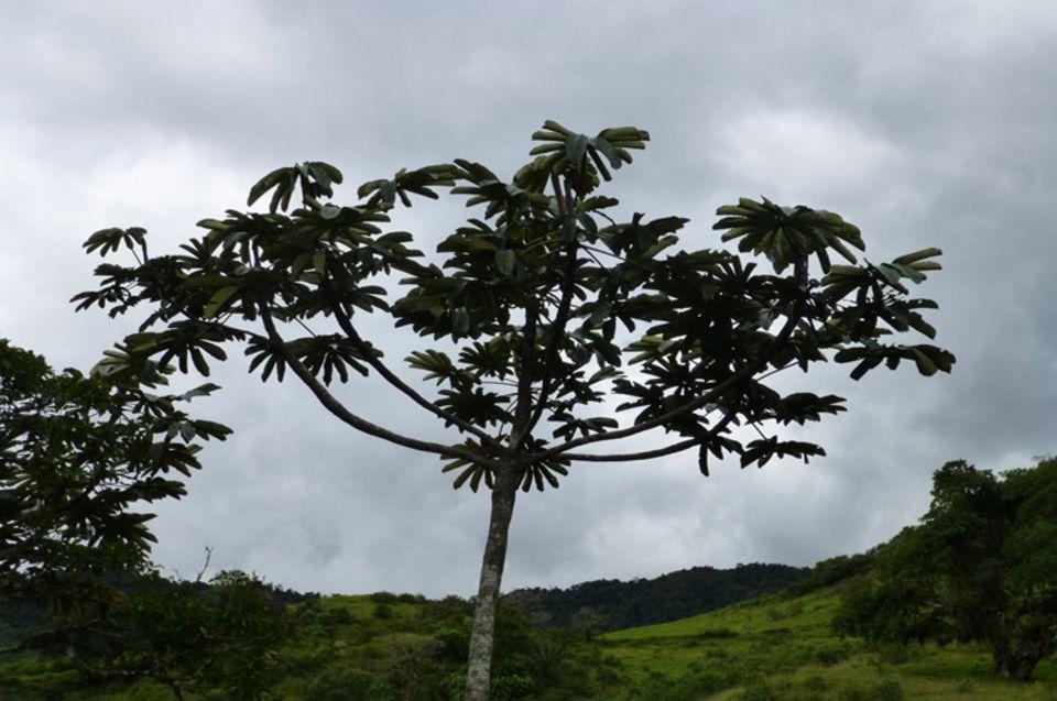 Ein Guarumbo, eine der typischen Baumarten in der Intag-Region