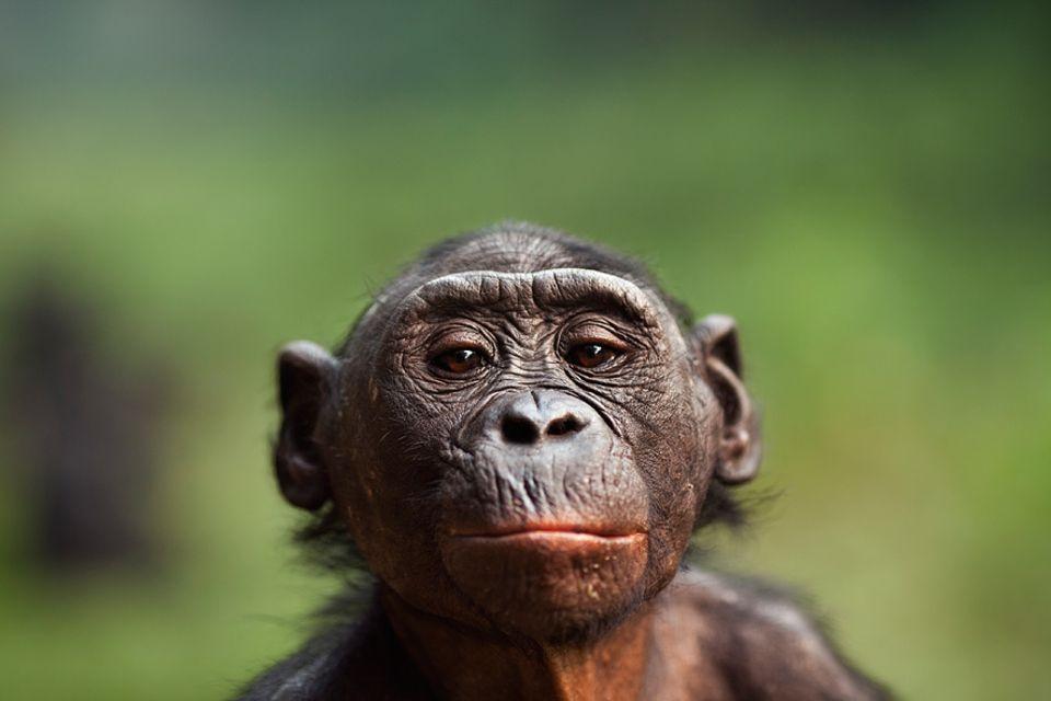 Tierethik: Nur eine Frage der Gene? Bonobos haben - genau wie Schimpansen - zu 98,7 Prozent dasselbe Erbgut wie wir Menschen