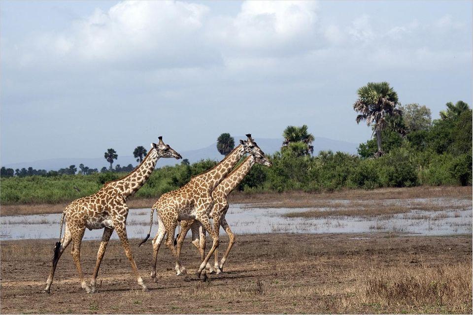 Naturschutz: Uranabbau im Selous-Reservat?