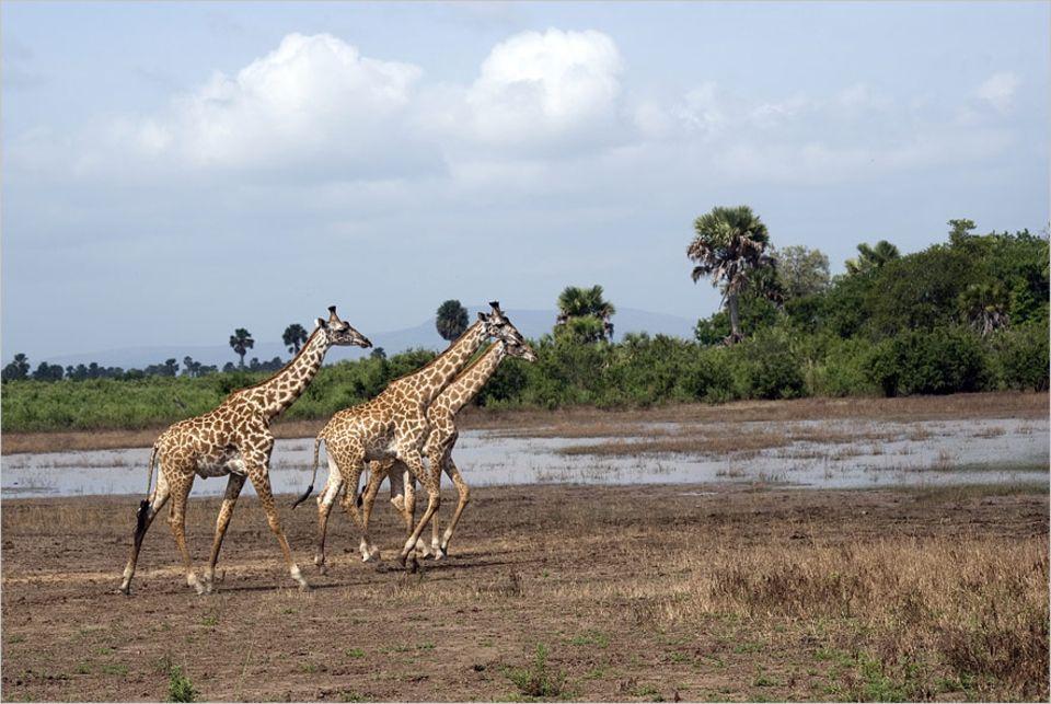 Naturschutz: Idylle in Gefahr: Massai-Giraffen im Selous-Wildtierreservat