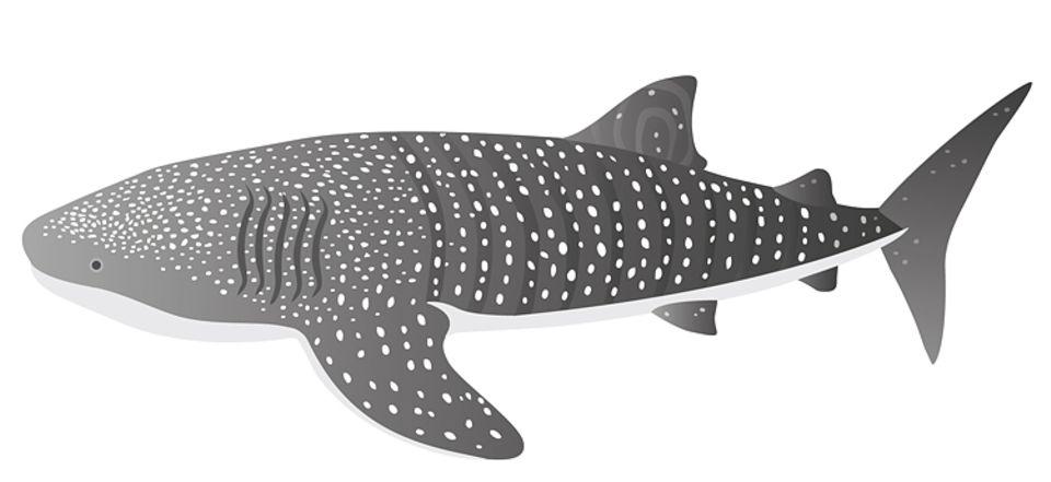 Der Walhai wird bis zu 20 Meter lang