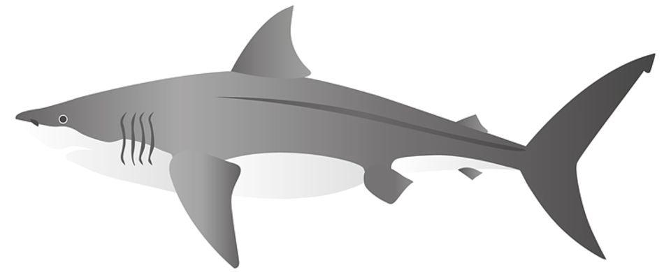 Der bekannte Weiße Hai folgt mit etwa 5,40 Metern Länge