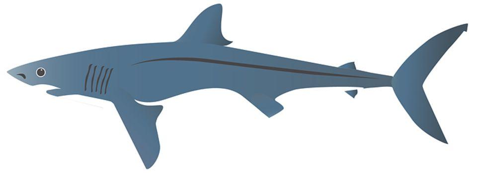 Mit etwa 4,00 Metern Länge ist der Kurzflossen-Mako nicht viel kleiner als der Weiße Hai