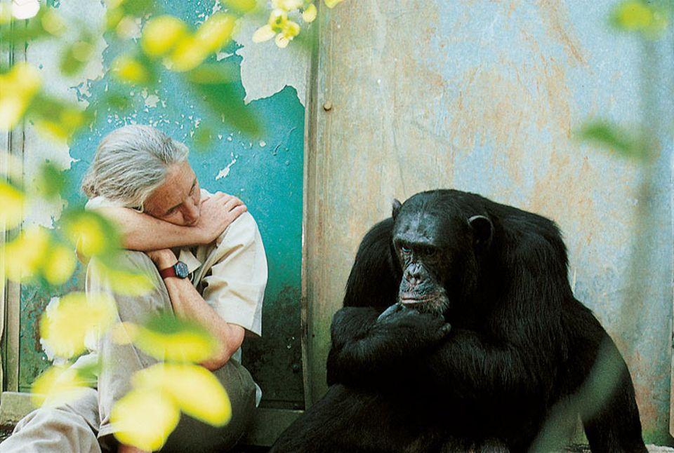 Weltveränderer: Jane Goodall genießt jede Minute, die sie mit unseren nächsten Verwandten verbringen kann. Seit über 50 Jahren setzt sie sich unermütlich für den Schutz der Schimpasen und ihres Lebensraumes ein