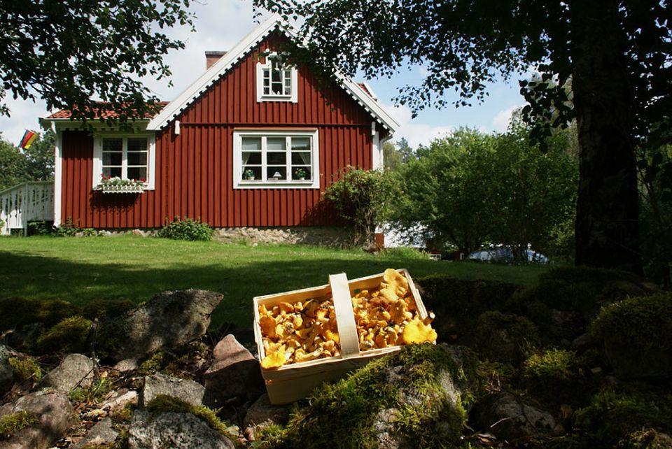 Rundreise Südschweden: Schmecken frischgepflückt einfach besser: Pfifferlinge