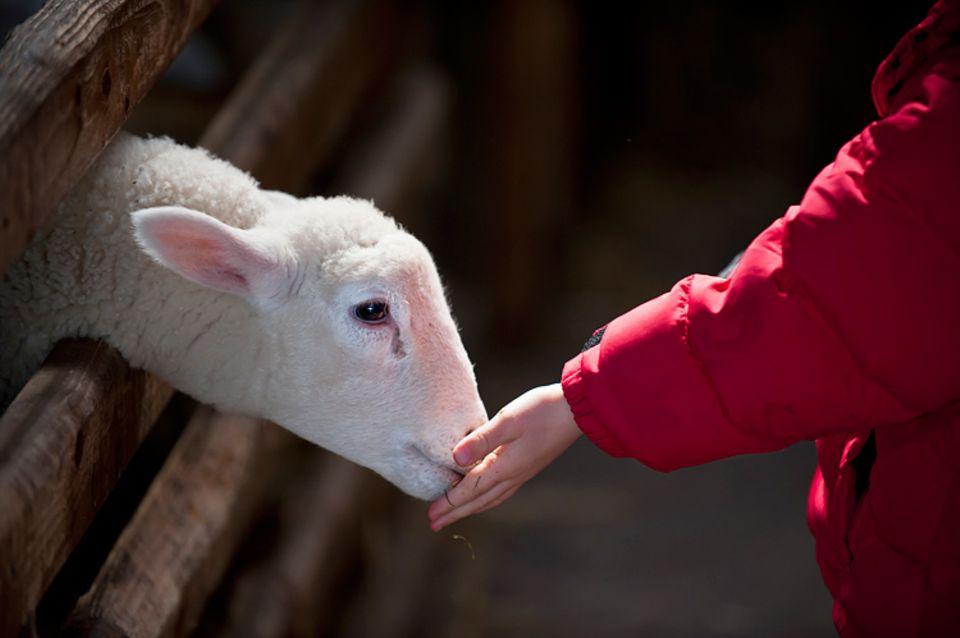 Redewendung: Ein Lamm, das zur Schlachtbank geführt wird, ist ängstlich aber folgsam