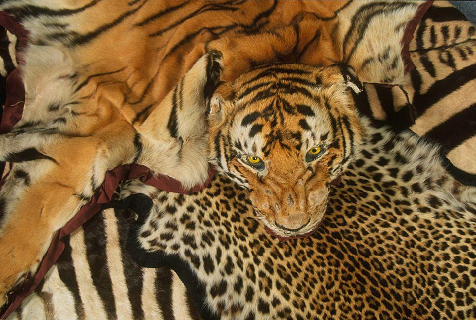 Der Tiger ist vom Aussterben bedroht. Mit seinem Fell zu handeln ist daher verboten.