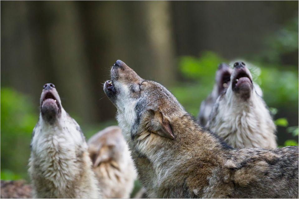 Redewendung: Hier heult niemand mit den Wölfen...