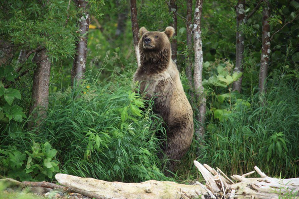 Tierlexikon: Der Kamtschatkabär ist in Russland zu Hause