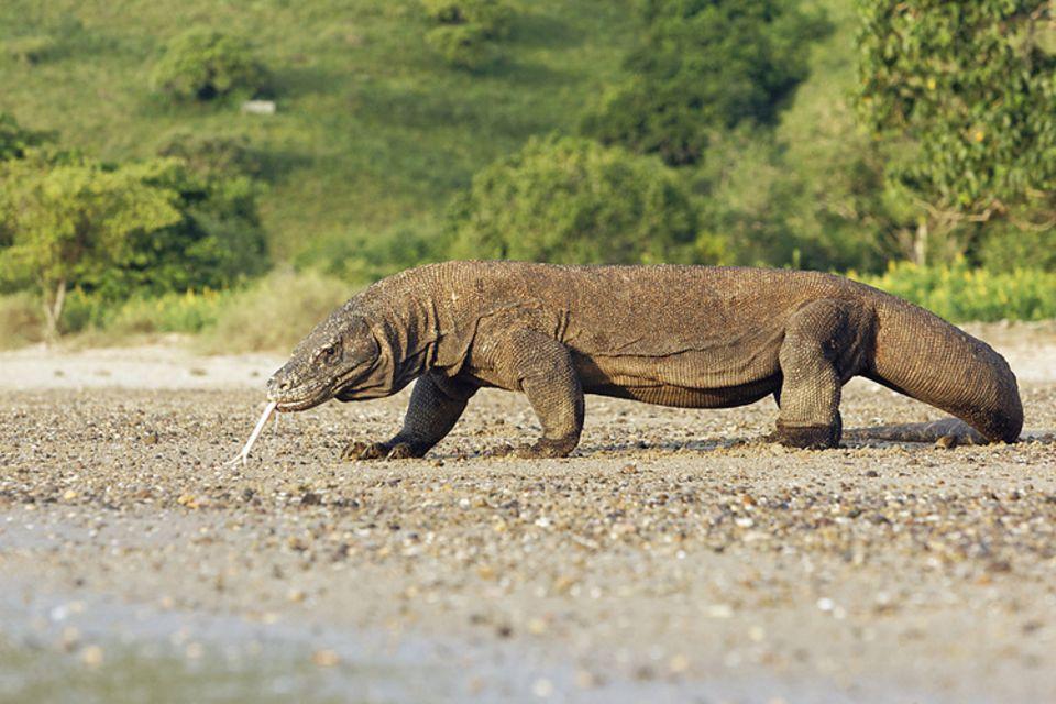Tierlexikon: Komodowarane werden bis zu drei Meter lang. Die größten Echsen der Welt kommen nur auf fünf ost-indonesischen Inseln vor