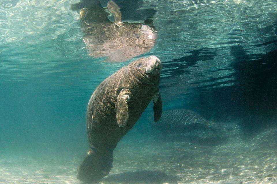 Tierlexikon: Es gibt verschiedene Seekuh-Arten