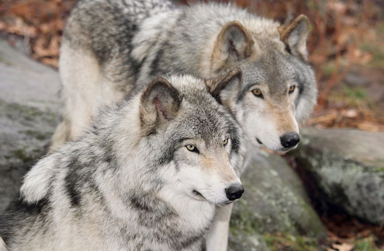 Tierlexikon: Wölfe leben heute wieder in fast ganz Deutschland - von Bayern bis Thüringen