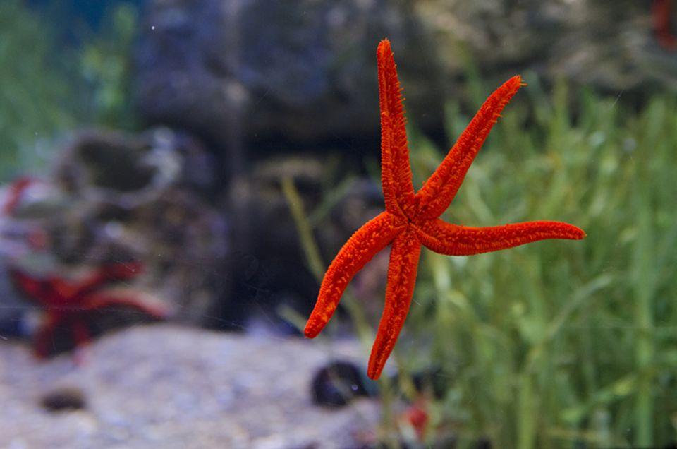 Tierlexikon: Seesterne sind mit Seegurken und Seeigeln verwandt. Es gibt etwa 1800 verschiedene Seestern-Arten