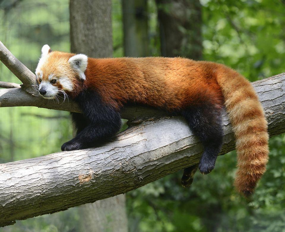 Tierlexikon: Weil ihr Fell feuerrot ist, nennt man Kleine Pandas auch Feuerfüchse. Wie ihre großen Verwandten futtern sie am liebsten Bambus