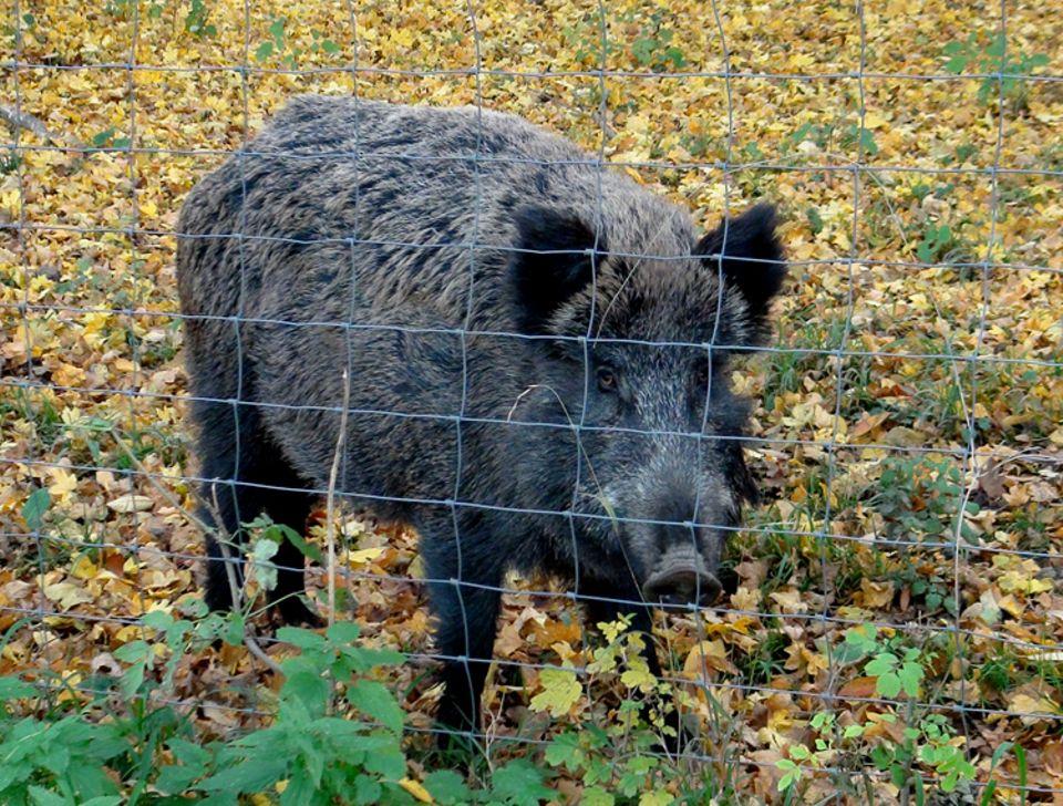 Tierlexikon: Wildschweine werden auch als Schwarzwild bezeichnet