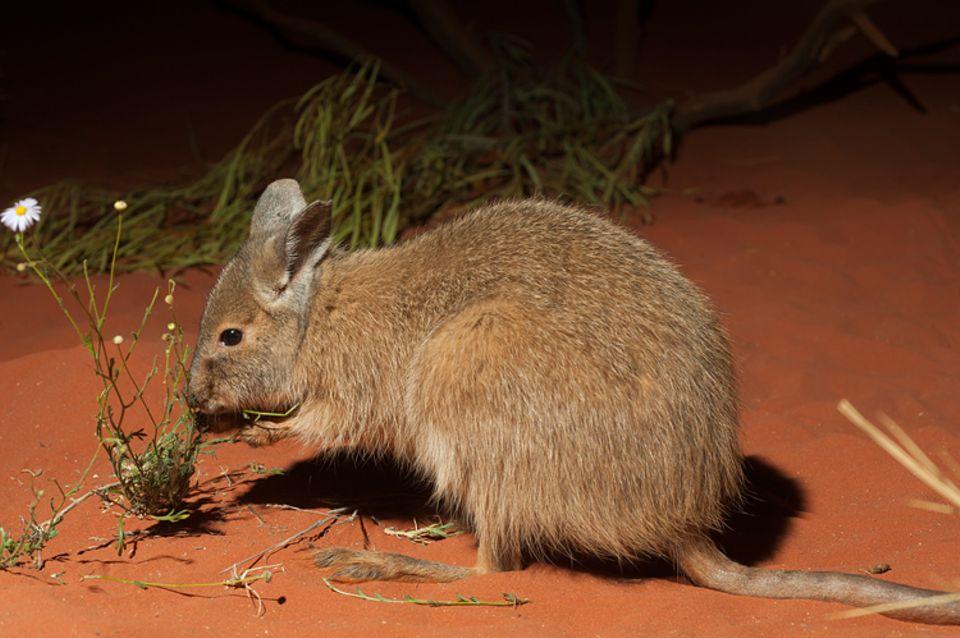 Tierlexikon: Das Zottel-Hasenkänguru ist eine sehr kleine Känguru-Art