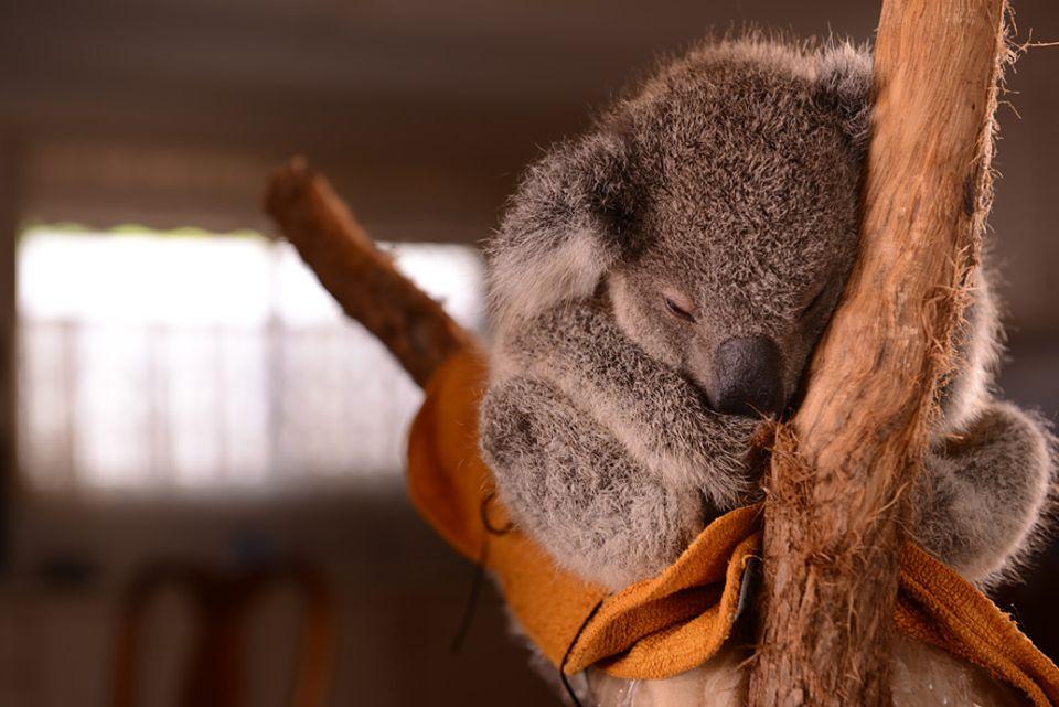 Koalas, Australiens Wappentiere, sind gefährdet, denn ihr Lebensraum schrumpft. Waldbrände, neue Straßen und Hunde gelten als Hauptbedrohung für die Tiere