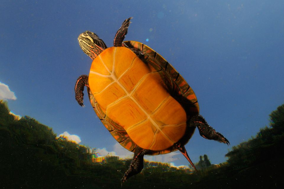 Biodiversität: Klimawandel bedroht Schildkröten