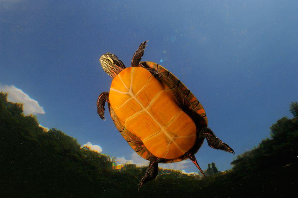 Biodiversität: Wärmeempfindlich: die amerikanische Schildkrötenart Chrysemys picta