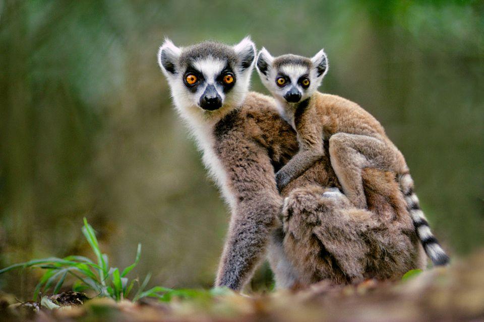 Ozeanische Erlebnisse: Wer wildlebende Lemuren auf Madagaskar entdecken möchte, der muss mehrstündige Fußmärsche durch tropische Regenwälder in Kauf nehmen
