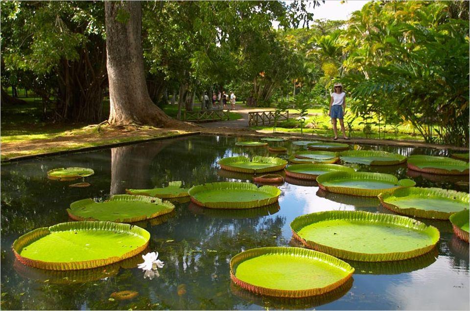 Indischer Ozean: Gigantisch: die Wasserlilien im Pamplemousse Botanical Garden auf Mauritius