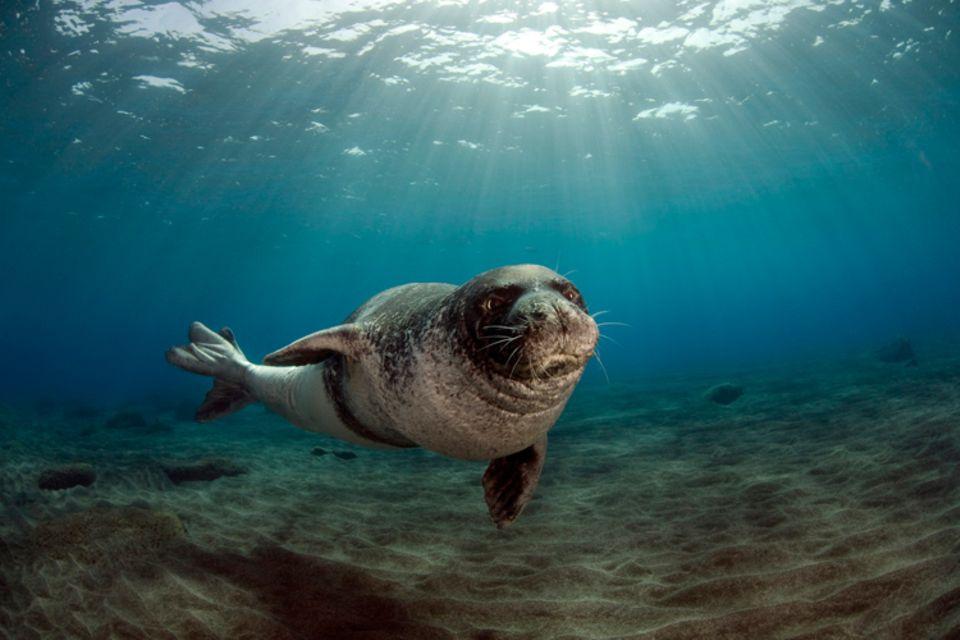 Tierlexikon: Die Mittelmeer-Mönchsrobbe kann bis zu 300 Kilogramm wiegen!