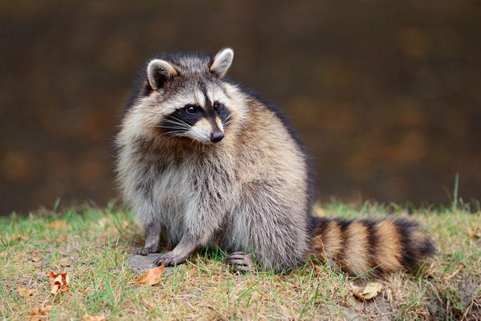 Tierlexikon: Der Waschbär stammt ursprünglich aus Nordamerika