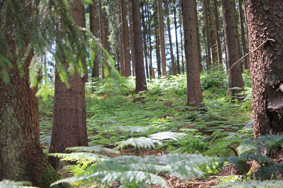 Botanik: Fichten, Tannen, Kiefern und Lärchen sind typisch für den nordischen Nadelwald