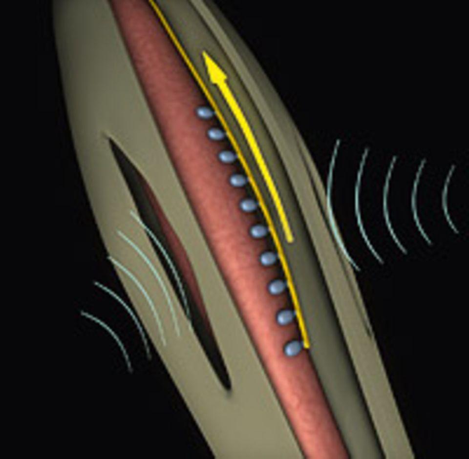 Evolution: DAS OHR AM KNIE: Durch schlitzförmige Öffnungen gelangen Schallwellen in das Gehörorgan im Bein der Heuschrecke und bringen eine Membran zum Schwingen. Nervenzellen registrieren die Vibration und senden die Information als elektrischen Impuls zum Gehirn des Insekts