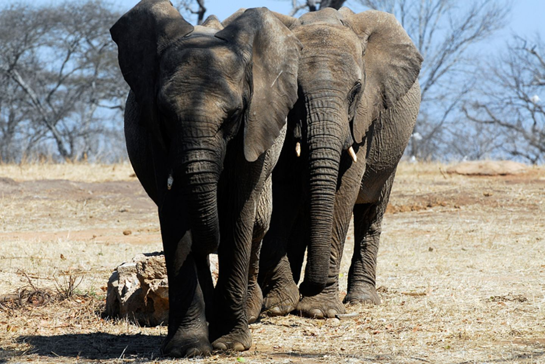 Tierlexikon: Ein Afrikanischer Elefant kann bis zu 7000 Kilogramm auf die Waage bringen