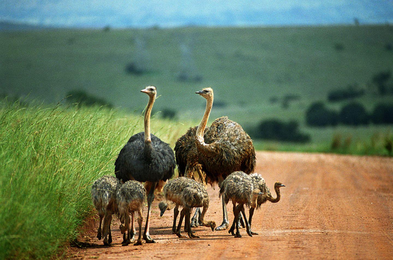 Tierlexikon: Afrikanische Strauße sind zu Land sehr schnell
