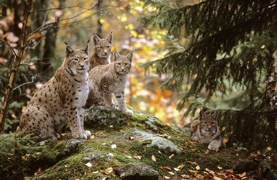 Herbstausflug: Das Lusener Freigehege teilt sich Seine Majestät mit Elchen, Wölfen und Bären