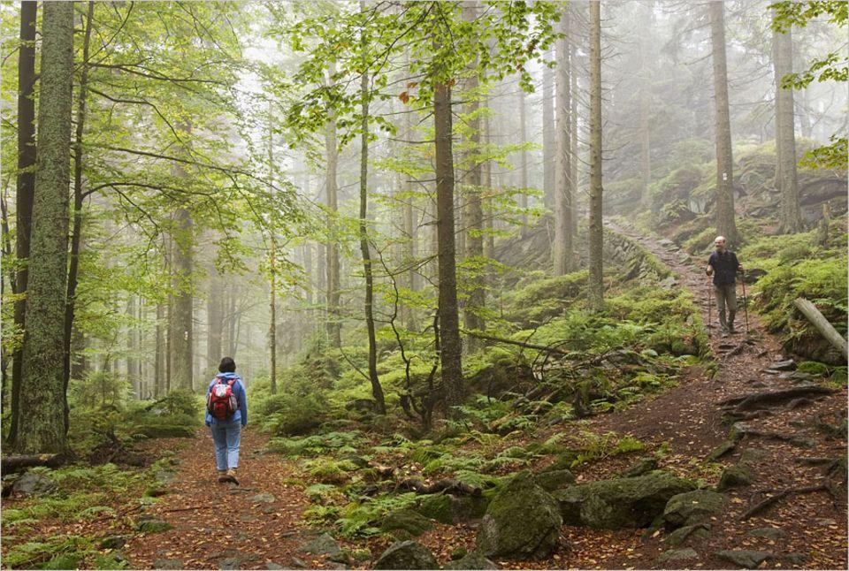 Herbstausflug: Fichten, Buchen, Tannen, Weiden und Vogelbeeren schießen wie botanische Feuerwerke aus dem Boden. So sieht es aus, wenn ein Bergmischwald seit 40 Jahren vor sich hin vegetiert