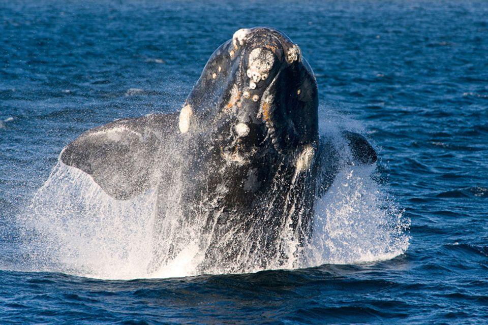 Tierlexikon: Der Nordkaper ist der seltenste Großwal der Welt