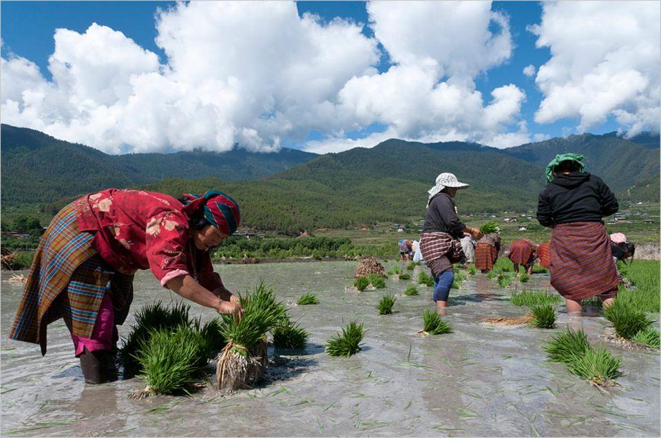 Landwirtschaft: Bäuerinnen im bhutanischen Paro-Tal pflanzen Reissetzlinge