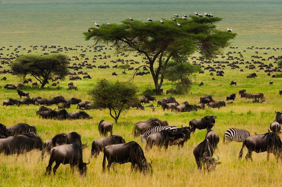 Zugvögel: Störche in Afrika. Werden sie ihr Zugverhalten ändern?