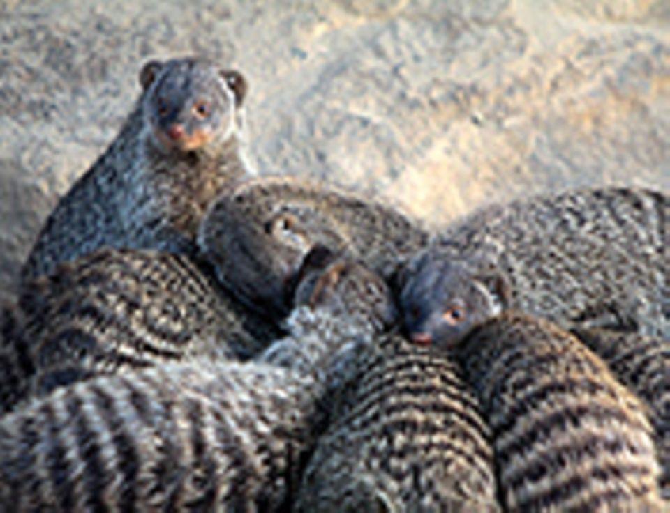 Tierlexikon: Zebramangusten leben in den unterschiedlichsten Territorien