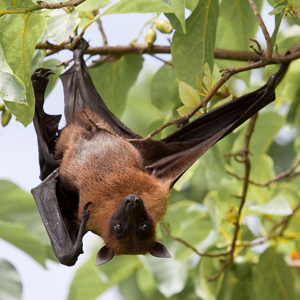 Tierlexikon: Flughunde gehören zu den Fledertieren. Sie können zwischen wenigen Gramm und über einem Kilogramm schwer werden